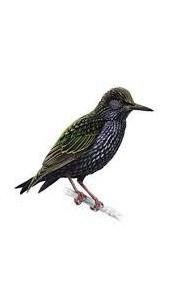 starlinginner2